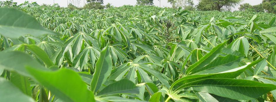 Matna Foods Ltd  Nigeria's leading Cassava Starch Manufacturer